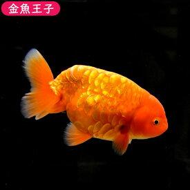 【金魚王子】レッドドラゴンスケイルらんちゅう(14.5センチ前後) 個体番号:dfg742 金魚 きんぎょ 生体 らんちゅう 厳選個体