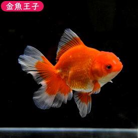 【金魚王子】レッドローズテールオランダホワイトエッジ(11センチ前後) 個体番号dfg751 金魚 きんぎょ 生体 オランダ獅子頭 厳選個体