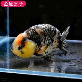 【金魚王子】麒麟(キリン)らんちゅう(12センチ前後) 個体番号:dfg763 金魚 きんぎょ 生体 らんちゅう 厳選個体
