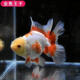【金魚王子】更紗ローズテールオランダ(11.5センチ前後) 個体番号dfg774 金魚 きんぎょ 生体 オランダ獅子頭 厳選個体