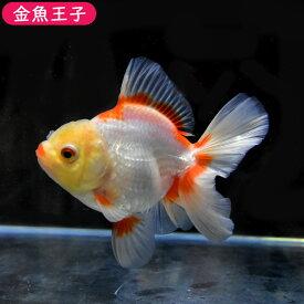 【金魚王子】更紗ローズテールオランダ(11センチ前後) 個体番号dfg785 金魚 きんぎょ 生体 オランダ獅子頭 厳選個体
