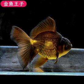 【金魚王子】黒ハーフムーンオランダ(14.5センチ前後) 個体番号bnm634 金魚 きんぎょ 生体 オランダ獅子頭 厳選個体