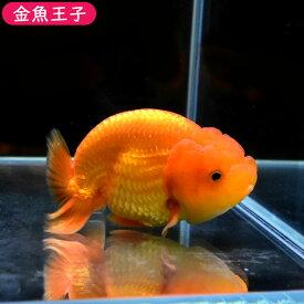 【金魚王子】タイ産レッドらんちゅう(10センチ前後) 個体番号:bnm702 金魚 きんぎょ 生体 らんちゅう 厳選個体