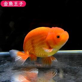 【金魚王子】タイ産レッドらんちゅう(10センチ前後) 個体番号:bnm704 金魚 きんぎょ 生体 らんちゅう 厳選個体