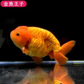 【金魚王子】レッドドラゴンスケイルらんちゅう(12.5センチ前後) 個体番号:dfg882 金魚 きんぎょ 生体 らんちゅう 厳選個体