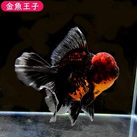 【金魚王子】黒虎ローズテールオランダ(15センチ前後) 個体番号dfg912 金魚 きんぎょ 生体 オランダ獅子頭 厳選個体