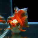 【金魚王子】更紗蝶尾 2歳(15cm前後)1匹 金魚 生体 水槽に彩りが加わります! ☆★セレクト個体★☆