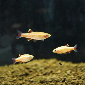 (熱帯魚) ゴールデンアカヒレ MLサイズ 【1匹】 生体