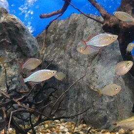 (熱帯魚) ネオンドワーフレインボー 【5匹セット】 生体