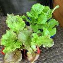 リーフ野菜を育てよう 赤リーフレタス、青チマサンチュ苗各3ポット 計6ポット(北海道・東北・沖縄は別途送料