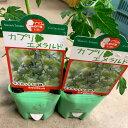 緑色ミニトマト苗 【カプリエメラルド】 1苗 グリーンミニトマト 9センチポット マウロの地中海ミニトマトシリーズ