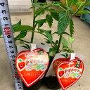 イチゴ型ミニトマト苗 【トマトベリーガーデン】1苗 育てやすい接木苗 9センチポット 青臭くなく酸味が少なく甘い 家庭菜園向き …