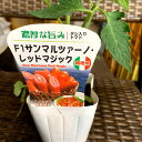 イタリアントマト苗 サンマルツァーノ・レッドマジック 1苗 10.5センチポット調理用・加熱用
