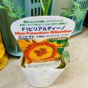 イタリアントマト苗 ビリアルディーノ 1苗 10.5センチポット 生食・煮物・グリルに
