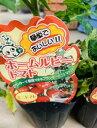 鉢植え向き ミニトマト苗 【ホームルビー】1苗 背丈は50センチほどでコンパクトなミニトマト 矮性ミニトマト
