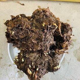 里芋種芋 八つ頭 赤ずいき 赤い茎も美味しい 1キロ(芋のかたまりを切り分けて植えます)※親芋子芋、茎を食用にできます。