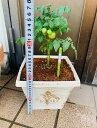 鉢植えミニトマト  背丈が短く世話がしやすい 水分チェッカー付き 鑑賞にもOK コンパクト 場所取らない 鑑賞にもかわいい  水…