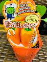 ミニパプリカ苗 オレンジ 1苗 実生苗 熟期が早く作りやすい!【ぱぷ丸】フルーツパプリカ