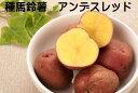じゃがいも種芋アンデスレッド 1キロ約10〜18コ北海道産 岡山県産種馬鈴薯検査合格済 種芋サイズ混合 秋植え・春植え…