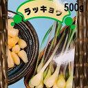 らっきょう球根 種 500g 植え付け約50か所分 8〜9月植え 5〜6月収穫 大粒の在来種 プランター栽培OK 秋植え