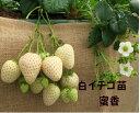 白いイチゴ苗 白蜜香 9センチポット 1苗 ※イチゴ苗・その他の野菜苗と合わせて10苗まで同一送料 みつか サントリーフラワーズ本気野菜…
