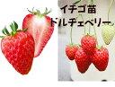 イチゴ苗 ドルチェベリー 9センチポット 1苗 ※イチゴ苗・その他の野菜苗と合わせて10苗まで同一送料 サントリーフラワーズ本気野菜イ…