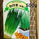 わけぎ 種 球根 苗 500g 植え付け約40箇所分 大粒の在来種 茨城県産 栽培説明レッテル付き 8〜9月植え 5〜6月収穫 プランター栽培O…