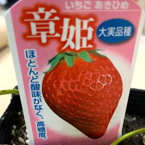 10月上旬頃〜発送予定 イチゴ苗 あきひめ ー 9センチポット 酸味は少なく長円錐形で甘い いちご苗 栽培 5〜6月収穫 ハウス栽培向き品種