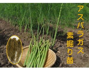 アスパラガス 1年生苗 根株 10株セット 品種名グリーンタワー 茨城県産 翌々年の春から収穫を 一度植えれば10年間ほど収穫ができるといわれる多年生野菜