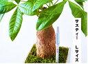 サスティー Lサイズ 1本 シングルパック カラ- グリーン・ホワイト 植物の水分チェッカー 水分計 6〜12号鉢 直径 18〜36センチくらいの…