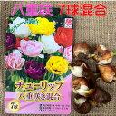 チューリップ球根 送料無料 7球八重咲 色 混合 富山県・オランダ プランター栽培 地植え可能 育てやすい花 10~1月植え 3~4月開花
