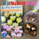 チューリップ球根 送料無料 早咲遅咲2種各4球 富山県 オランダ産 プランター栽培 地植え可能 育てやすい花 10~1月植え4~5月開花 テー…