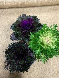 葉牡丹苗 光沢のきれいな品種 チリメン紅・切り込みの深いチリメン紅・チリメン白 の中からチョイス 3.5号ポット お正月 花苗 冬の花