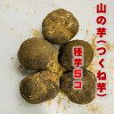山の芋(つくね芋) 種芋 5コ 秋田県産 滋養強壮 老化予防など栄養価も豊富 苗