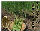 アスパラガス2年生苗 根株10株セット 春植え用 植え付けの翌年の春から収穫を目指す 一度植えれば10年間ほど収穫ができるといわれる多…