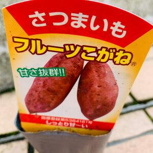 サツマイモ苗 ポット苗 フルーツこがね 9センチポット苗 育てやすい 甘い 品種名 安納3号 さつまいも苗 サツマイモ苗