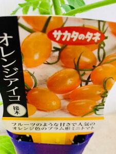 オレンジアイコ 接木苗 ミニトマト 9センチポット苗 甘い サカタのタネオリジナル野菜苗