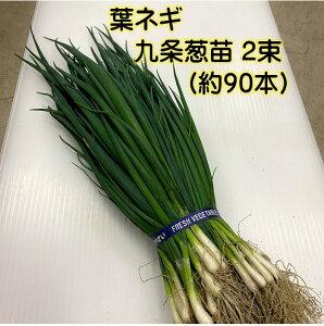 4/11頃より順次発送 九条太葱苗 2束 苗約90本 京野菜 春植え用 好みの大きさで随時収穫 ※苗の大きさに応じて上部をカットさせて頂く場合があります。 育てやすい 家庭菜園