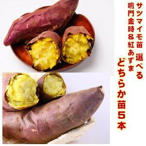 サツマイモ苗 5本 紅あずまか鳴門金時どちらか選べる 挿し穂 定植後120〜150日後収穫 定番品種 作りやすい