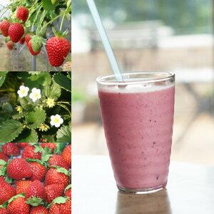 【冷凍国産フルーツ】「さちのか苺」デパートのバイヤーも買い付けに来る和歌山岩出市中村さんのこだわりいちご「ジャム、スイーツ、スムージー」に200g