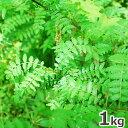 大きめ山椒の葉1kg予約販売天然・大きめ山椒の葉(5cm〜8cmくらい)まとめて1kg(大小バラ詰め)※送料別(クール便)