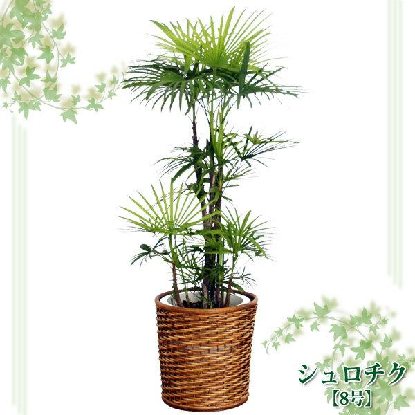 シュロチク 8号【TD】(代金引換不可)観葉植物 【GW】 P19Jul15