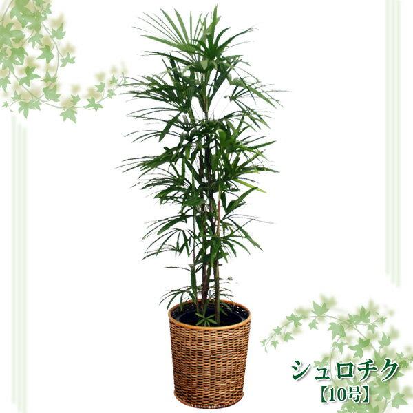 シュロチク 10号【TD】(代金引換不可)観葉植物 【GW】 P19Jul15