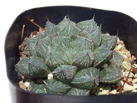 多肉植物 ハオルシア属 ミラーボール 6.5cm鉢