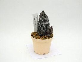 多肉植物ハオルシアcoarctata6cm鉢