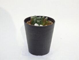 多肉植物ハオルシア静鼓9cm鉢