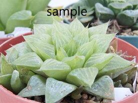 処分品 多肉植物 ハオルチア ハオルシア 3株アソート 7.5cm鉢