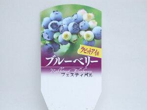 ブルーベリー ラビットアイ系  フェスティバル  10.5cm鉢