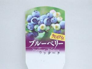 ブルーベリー ラビットアイ系  ウッタード  10.5cm鉢
