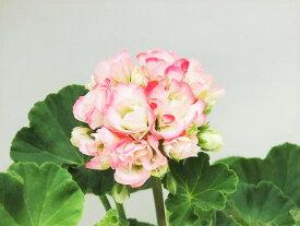 花終わり処分 八重咲きゼラニウム ゼラニューム アップルブロッサム 9cm鉢